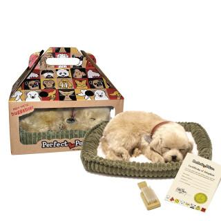 Golden Retreiver - Companion Dog