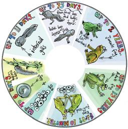 SNAP Projector Wheels- Style: Frogs Life Cycle Snap Wheel